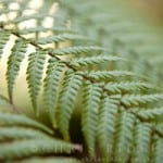 Dicksonia antarctica tree fern buy