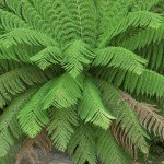 Dicksonia antartica Tree Fern - Dicksonia antartica for sale in the UK