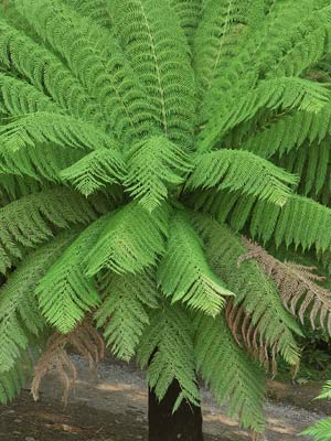 Buy Dicksonia antartica tree ferns online.