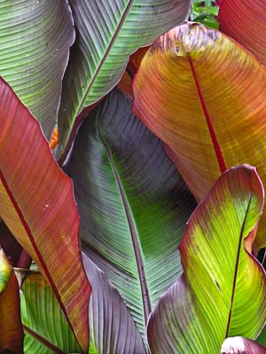Byy Ensete ventricosum 'Maurelii' red banana online