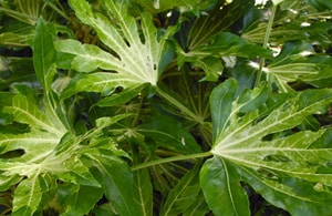 Fatsia japonica Annelies variegated