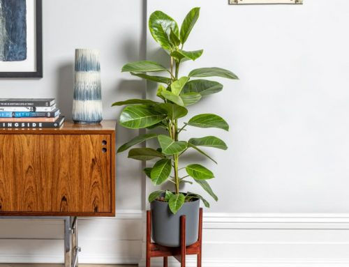 Ficus altissima yellow gem – How to grow, buy, & care for this gorgeous indoor plant – Our Spotlight