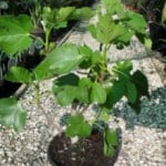 Ficus carica - Fig Tree | Buy Fig trees online in the UK