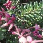 Grevillea 'Mt Tamboritha' - Wooly Grevillea - Buy Grevillea in the UK