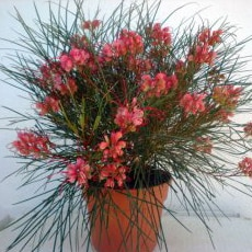 Grevillea johnsonii - Johnson's Grevillea - Grevillea for sale online