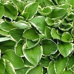 Learn about the Hosta - Grow them up big and strong!