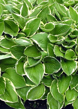 Learn about the Hosta