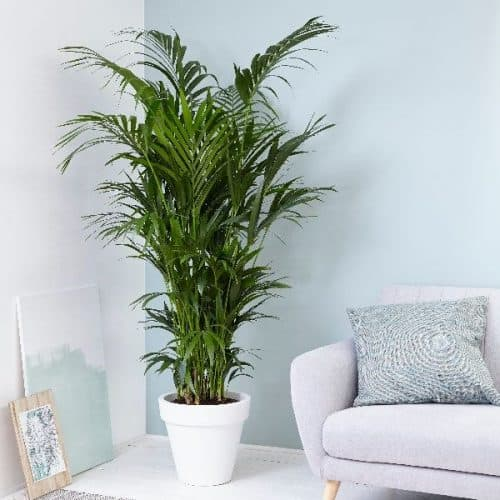 Kentia Palm - Howea forsteriana - Buy online