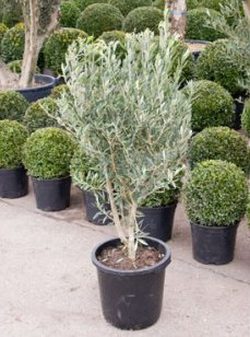 Olea europea - Buy Olive Trees Online