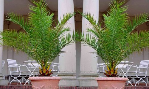 PAIR of Giant Phoenix canariensis - Canary Island Date Palm - LARGE 6ft PATIO PALM TREES 150-200cms