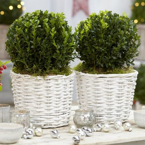 Pair of Buxus Balls in Stylish Grey-White Baskets