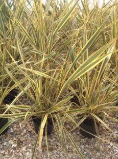 Phormium Alison Blackman Flax for sale
