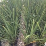Phormium tenax - New Zealand flax for sale in the UK