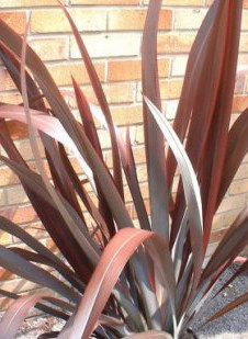 Phormium tenax Purpureum Red New Zealand Flax For Sale