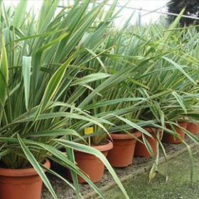 Phormium tenax variegatum Variagated New Zealand Flax For Sale