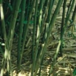 Phyllostachys bissetii - Green Sulcus Bamboo for sale