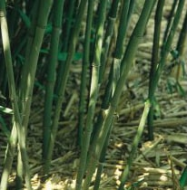 phyllostachys bissetii green sulcus bamboo for sale. Black Bedroom Furniture Sets. Home Design Ideas
