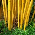 Phyllostachys vivax 'Aureocaulis'  Golden bamboo for sale