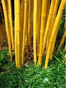 Buy Phyllostachys vivax 'Aureocaulis' online - Bamboo for sale