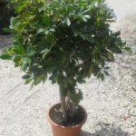 Schefflera arboricola 'Variegata' - Buy the Variegated Umbrella Plant