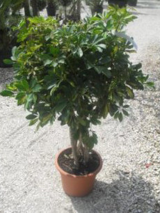 Buy Schefflera arboricola Variegata online - Variegated Umbrella Plant for sale in the UK