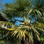Trachycarpus fortunei (Chusan palm - Windmill palm) Buy Online