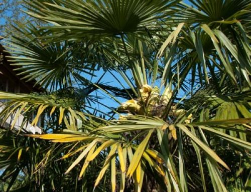 Palms & Palm Trees – Learn, Buy, Grow & Find the best palms for sale in the UK