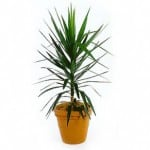 Buy Yucca elephantipes or Spineless Yucca online or for sale in the UK