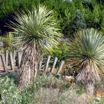 Yucca rostrata - Beaked Yucca or Big Bend yucca | Buy Online