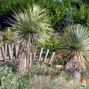 Yucca rostrata Beaked Yucca for sale in the UK