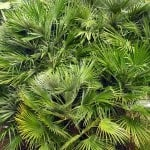 Chamaerops humilis – Buy European Fan Palms Online