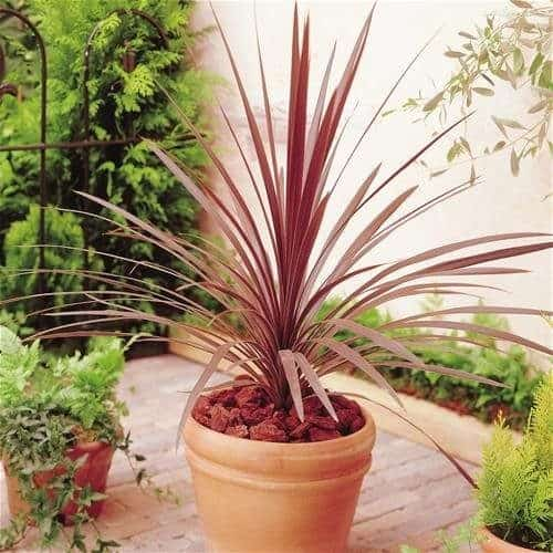 Buy Cordyline australis 'Red Star' or Cabbage Palm 'Red Star'