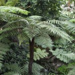 Dicksonia squarrosa or Hard tree fern and Rough tree fern 'Wheki'