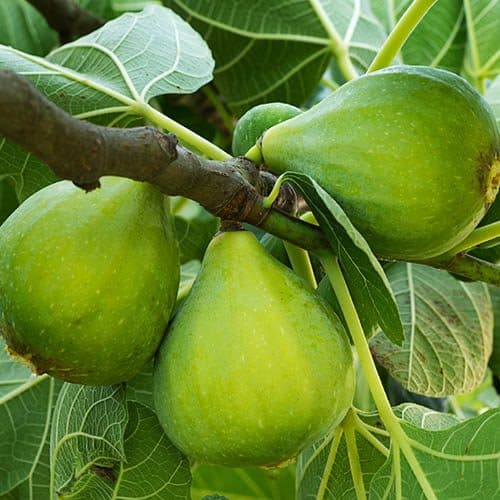 buy Green Fig - Ficus carica