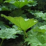 Gunnera manicata - Giant Chile Rhubarb for Sale in the UK
