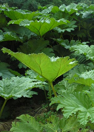 Buy Gunnera manicata online and for sale