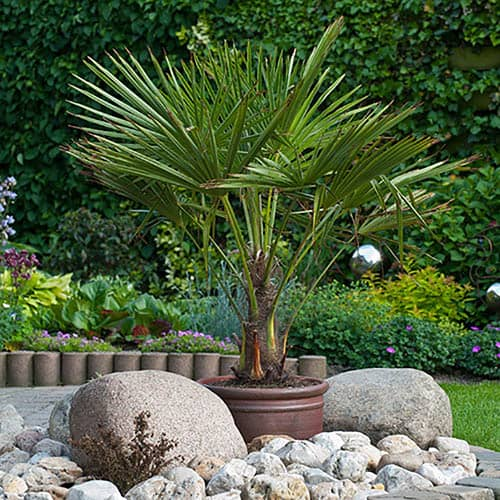 Hardy Fan Palm Trachycarpus fortunei