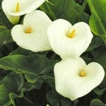 Zantedeschia aethiopica – Arum lily, Crowborough Calla lily.