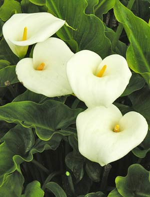 buy Zantedeschia aethiopica lily online