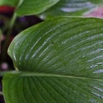 Hosta 'Big Daddy' Sieboldiana hybrid - Buy Hostas Online in UK