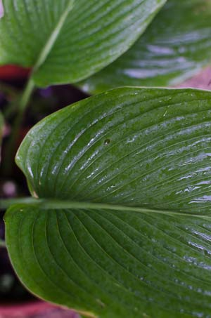buy hosta big daddy online