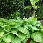 Hosta 'Sum and Substance' - Buy Plantain Lily Online