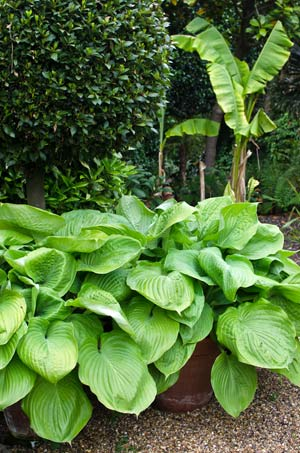 buy hosta sum and substance online
