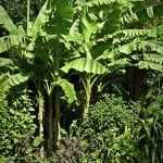 Buy Musa Basjoo online – Japanese root hardy banana in the UK