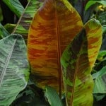 Musa sikkimensis Banana - Buy Musa Red Tiger online in the UK