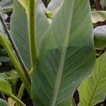 Musella lasiocarpa –  China yellow banana, Golden lotus banana