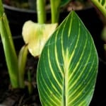 Buy canna pretoria striata bengal tiger online