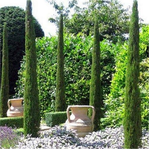 Backbone Garden Conifers