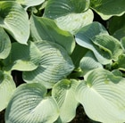 Hosta 'Fire and Ice' Plantain Lily – Buy Hosta Plants Online