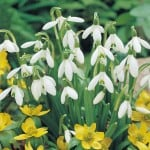 World beating price for a snowdrop!